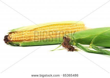 Close up of fresh corn ears.