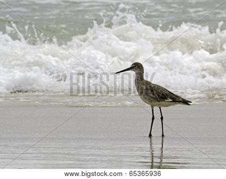 A willet, a type of sandpiper shorebird forages in the ocean surf.