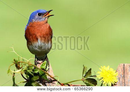 Eastern Bluebird With Dandilion