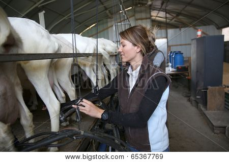 Breeder in barn ready for goat milking