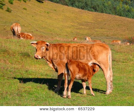 Cow And Calf In The Mountains