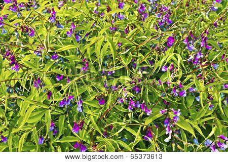 Spring pea flowers.