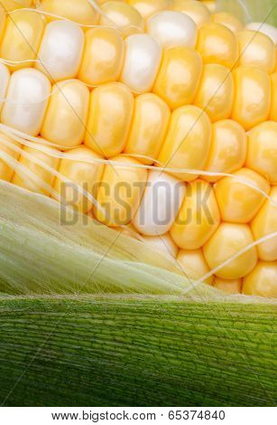Bi Color Sweet Corn And Husk