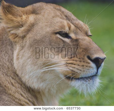 Unhappy Lioness