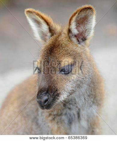 Kangaroo: Wild Wallaby Close-up Portrait, Australia