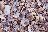 pic of cod  - Pile of colorful shells at Wellfleet - JPG