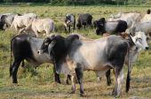 pic of zebu  - Cattle of zebu or angus in a countryside farm - JPG