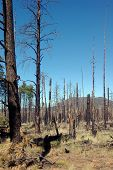 pic of life after death  - Trees recovering after a forest fire - JPG