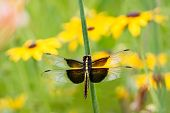 image of black-eyed susans  - A widow skimmer dragonfly  - JPG