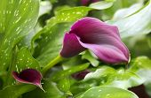 stock photo of arum lily  - purple calla lily with many leaves as floral background - JPG