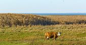 picture of sea cow  - Cow on the sea shore in autumn evening - JPG