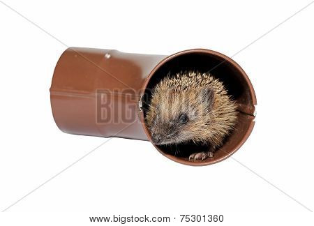 Small Forest Hedgehog Frightened, Gets Out Of The Drainpipe