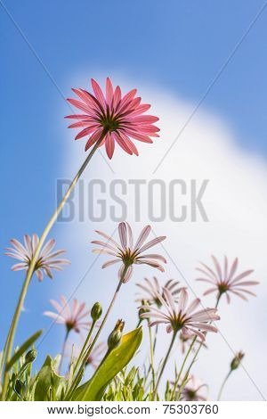 Pink And White Osteospermum Flowers
