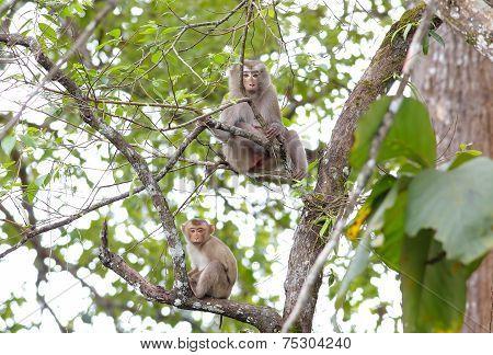 Long-tailed Macaque Crab-eating Macaque Macaca Fascicularis