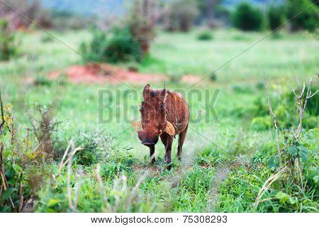 Warthog in Tarangire national park in Tanzania