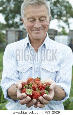Senior Man On Allotment Holding Freshly Picked Strawberries