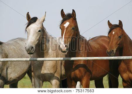 Purebred horses summertime