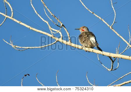 Northern Flicker Perched In A Tree