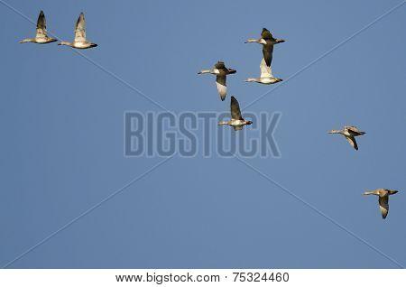 Flock Of American Wigeons Flying In A Blue Sky
