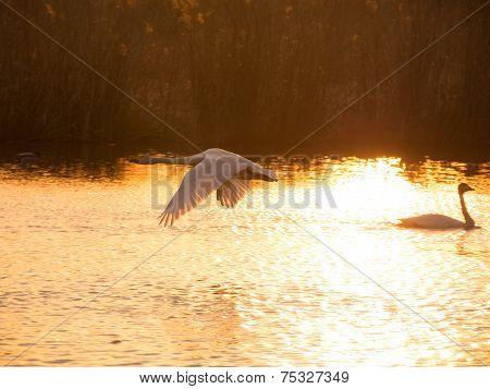 Whooper swan, Cygnus cygnus, flying