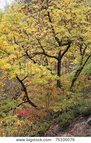 Vivid Yellow Leaves On Tree.