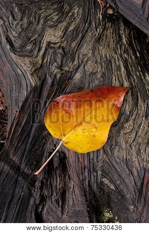 Yellow Leaf On Wet Log.