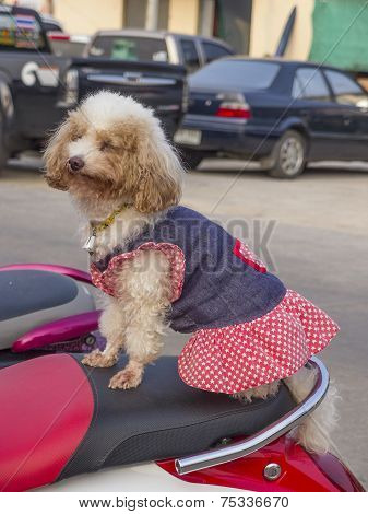 Small Dog Sits On Moped