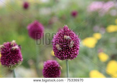 Purple Alium