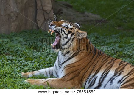 A yawning Siberian tiger female lying on green grass.
