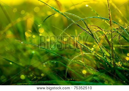 Morning grass after rain in the morning sun backlit.