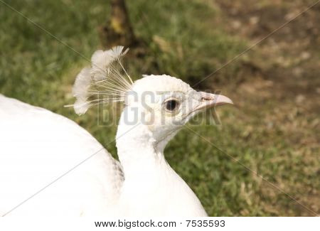 White peacock in the garden