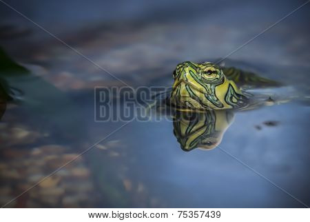 Terrapin above water