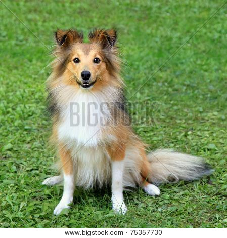Typical Shetland Sheepdog