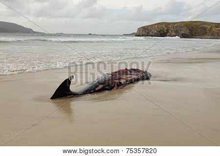 Whale Carcass.