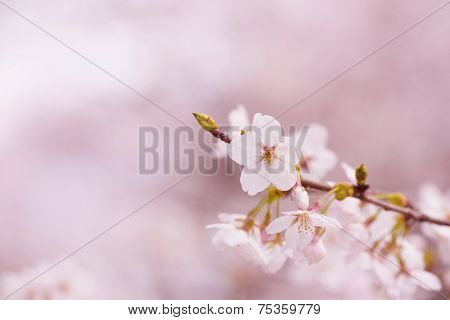 Cherry blossom in spring with pastel pink background.