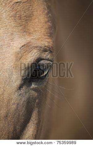 Closeup shot of a wild horse eye. Przewalski's horse (Mongolian wild horse).