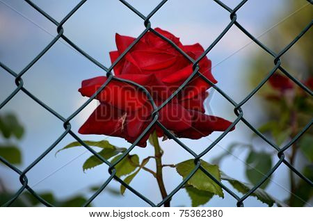 Rose imprisoned