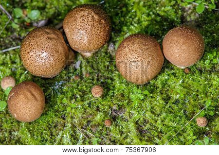Puffball Fungus On Moss