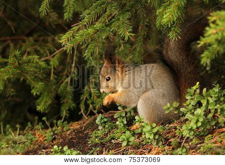 Red Squirrel In Natural Outdoor Environment
