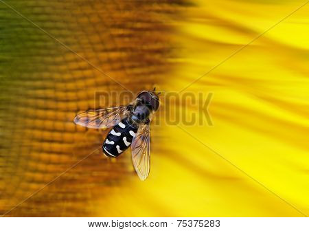 Hover-fly On A Sunflower
