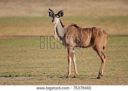 Young male kudu antelope (Tragelaphus strepsiceros), Kalahari desert, South Africa