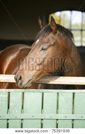 Beautiful chestnut coloredmare standing in the barn