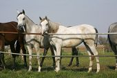 pic of thoroughbred  - Two thoroughbred young mares standing at the corral gate - JPG