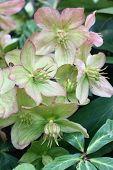 image of helleborus  - Petals Fading Helleborus Have Unusual Green - JPG