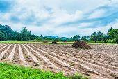 stock photo of cassava  - An Cassava field harvest  - JPG