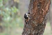 picture of larva  - White-backed woodpecker female is looking for beetle larvae