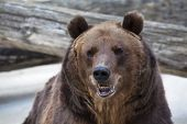 stock photo of predator  - A brown bear female with open chaps - JPG