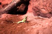picture of terrarium  - The lizard on red sand at terrarium - JPG
