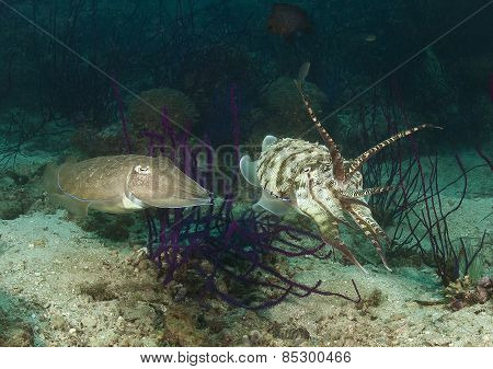 Mating ritual of the cuttlefish