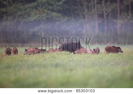 Family of wild boars in the mist